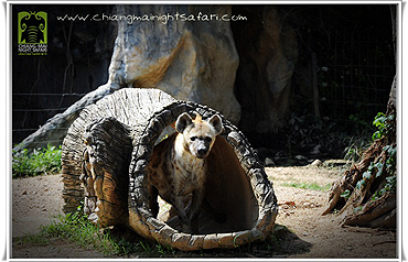 치앙마이 나이트 사파리 동물들8