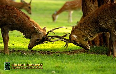 치앙마이 나이트 사파리 동물들12